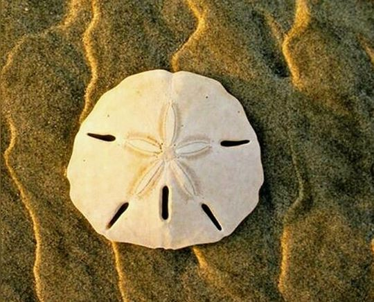 Isla Palenque Sand Dollar