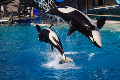 Two Orcas Jumping at Sea World San Diego