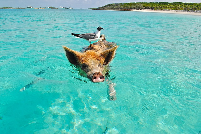 The Famous Swimming Pigs, Exuma Resorts