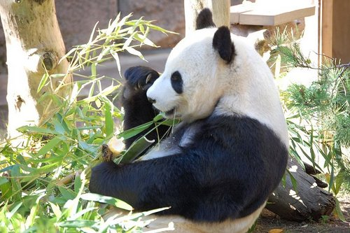 Giant Panda at San Diego Zoo